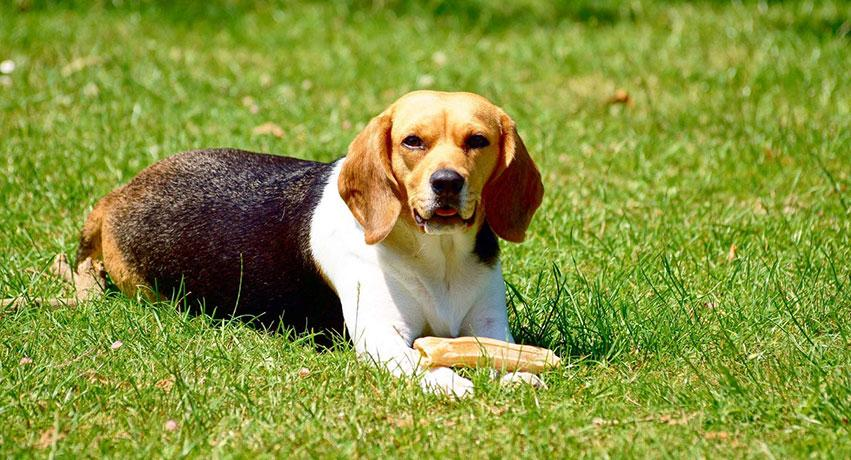 1 Beagle - 5 Small dog breeds that will fit right in with your family