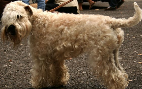4 Soft Coated Wheaten Terrier 563x353 - 5 Small dog breeds that will fit right in with your family