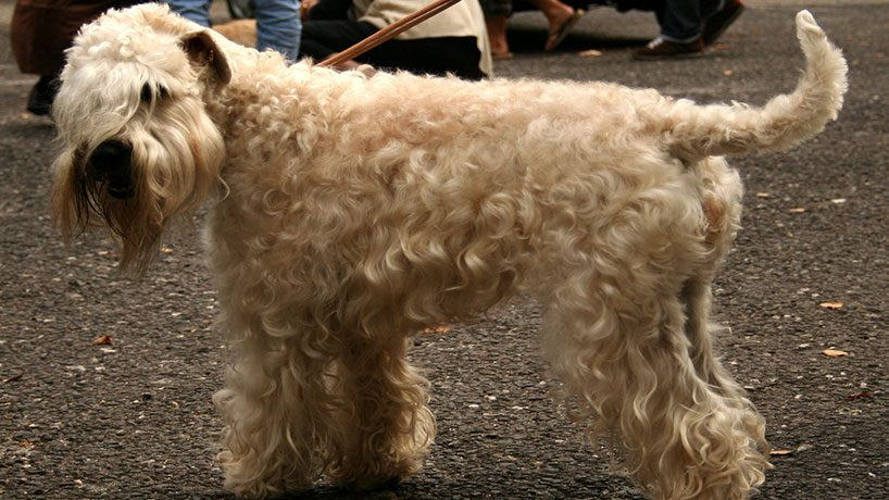 4 Soft Coated Wheaten Terrier 818x460 - 5 Small dog breeds that will fit right in with your family