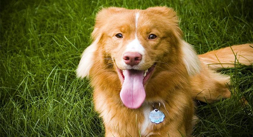 5 Nova Scotia Duck Tolling Retriever - 5 Small dog breeds that will fit right in with your family