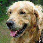 5 Things you should know about a Golden Retriever before getting one