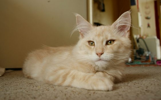 coon 563x353 - 5 Large domesticated cat breeds for the cat lover