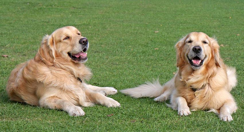 gold2 - 5 Things you should know about a Golden Retriever before getting one