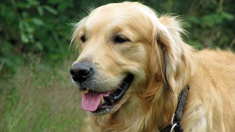 The Golden Retriever 818x460 - 5 Things you should know about a Golden Retriever before getting one