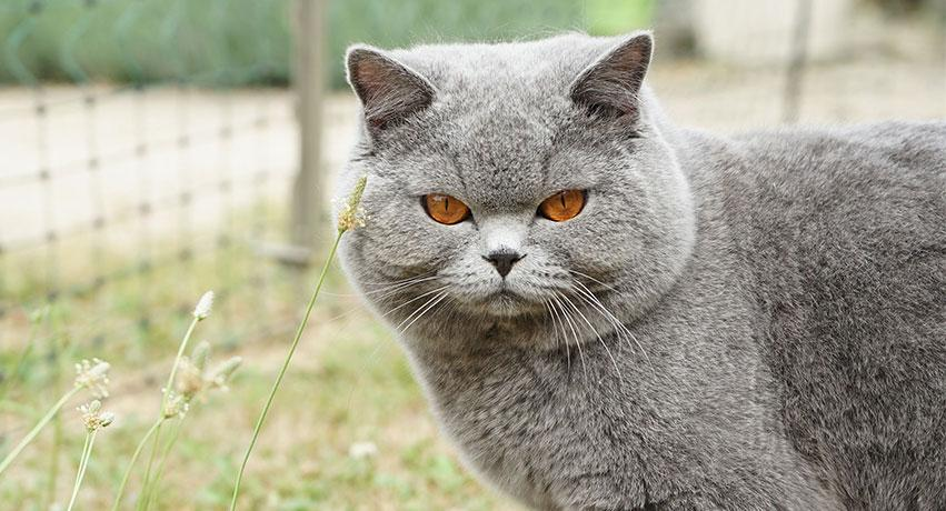 ca - 5 Large domesticated cat breeds for the cat lover
