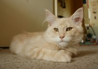 5 Large domesticated cat breeds for the cat lover